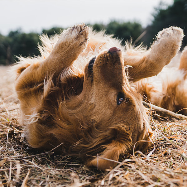 A golden retriever on its back with paws in the air